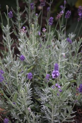 lavender-1045805_640 (1)