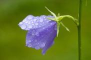 bluebells-62892_640