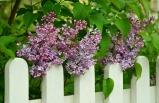 lilac-747862_640.jpg