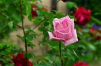 roses-789030_640