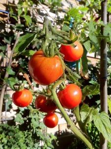 bush-tomatoes-477467_1280