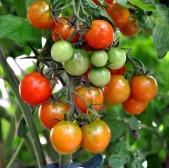 tomato-shrub-2101850_960_720